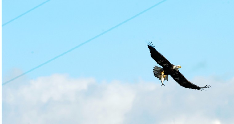 A bald eagle flies in gusty conditions with a fish in its talons at the Conowingo Hydroelectric Dam. Saturday is Conowingo Eagles Day at the dam pavilion. Kim Hairston/Baltimore Sun