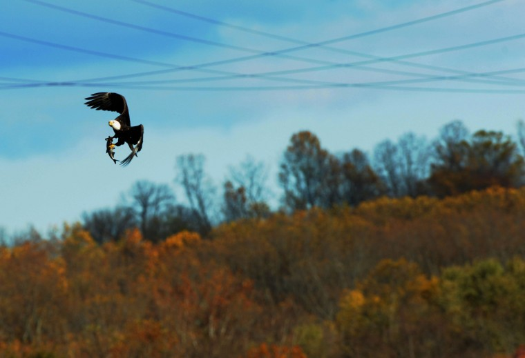 A bald eagle flies in gusty conditions with a fish in its talons at the Conowingo Hydroelectric Dam. Kim Hairston/Baltimore Sun