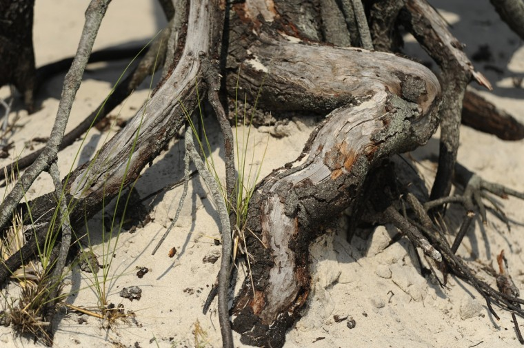 These are tree roots along the marsh trail at Assateague National Seashore. (Barbara Haddock Taylor/Baltimore Sun)