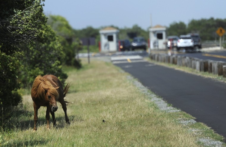 A wild pony grazes near the entrance at Assateague National Seashore. (Barbara Haddock Taylor/Baltimore Sun)
