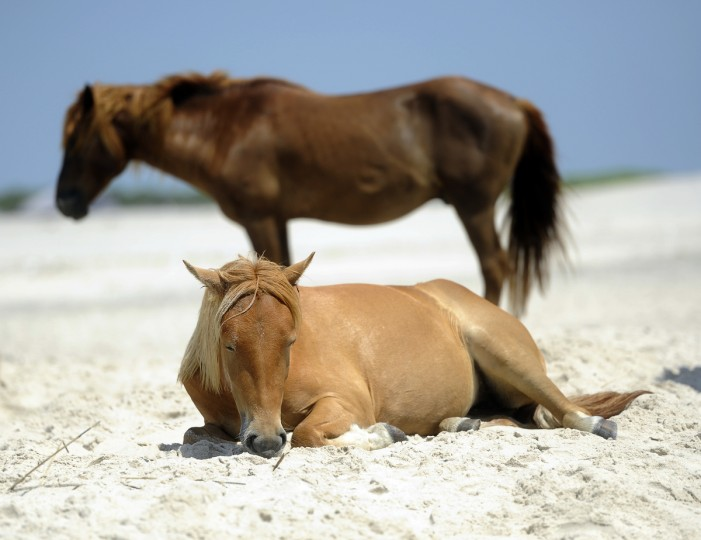 A pony rests on the beach at Assateague National Seashore. (Barbara Haddock Taylor/Baltimore Sun)