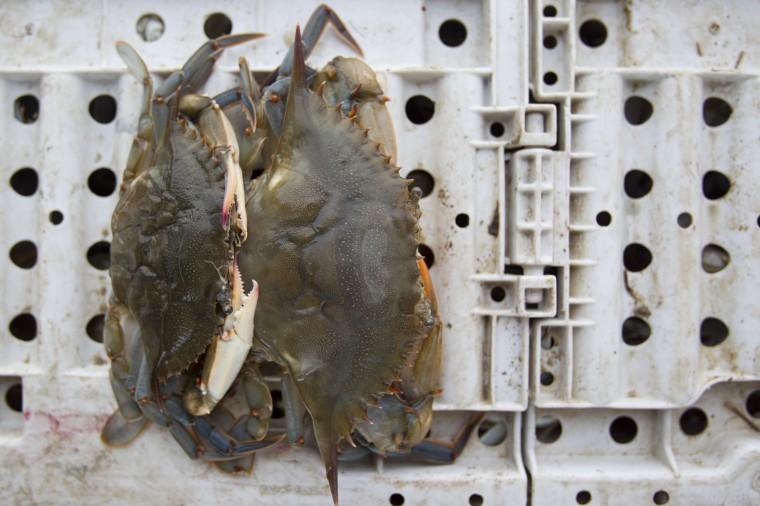 Soft-shell crabs caught on Tony Conrad's boat while crabbing off of Galloway Creek Marina. (Jen Rynda/BSMG)