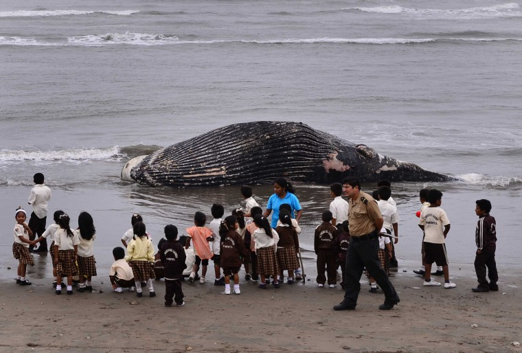 Children look at the body of a beached young humpback whale lying on the shore between Santa Rosa and Pimentel district, west of Chiclayo, July 22, 2014. The cetacean weighs approximately 4 tonnes and stretches around 7 metres. The cause of what that led it to be stranded on the shore is unknown, according to local media. (Heinz Plenge/Reuters)