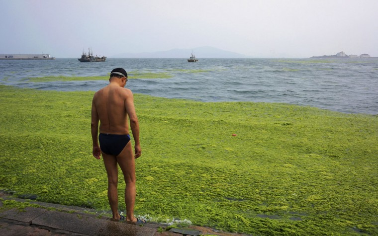 A man stands beside the algae-covered coastline of Qingdao, Shandong province, June 26, 2014. (REUTERS/Stringer)