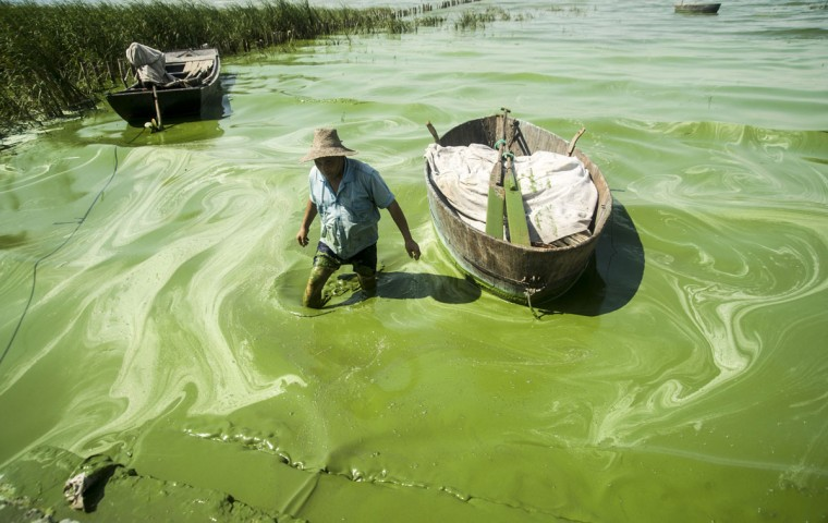 A fisherman wades in Chaohu Lake, covered in blue-green algae, in Chaohu city, Anhui province, July 19, 2013. (REUTERS/China Daily)