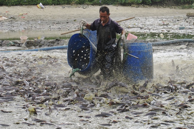 A worker collects catfish for disposal in a polluted pond in Haikou, Hainan province, September 10, 2013. (REUTERS/Stringer)