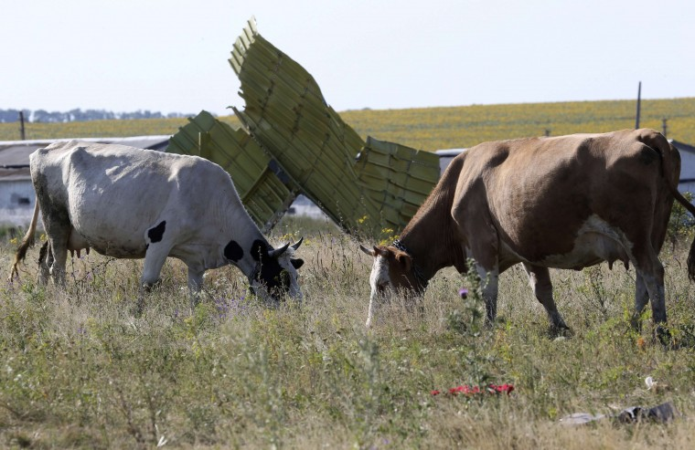 Cows graze near wreckage at the crash site of Malaysia Airlines Flight MH17 near the village of Hrabove (Grabovo), Donetsk region. Nearly 300 people, 193 of them Dutch citizens, were killed when the Malaysia Airlines plane en route from Amsterdam to Kuala Lumpur was brought down in eastern Ukraine, where separatists are battling government forces, on July 17. (Sergei Karpukhin/Reuters)