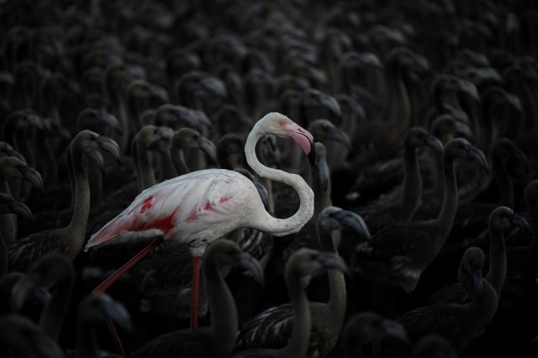 A flamingo and flamingo chicks are seen in a corral before being tagged at dawn at the Fuente de Piedra natural reserve, near Malaga, southern Spain. Around 600 flamingos were tagged and measured before being placed in the lagoon, one of the largest colonies of flamingos in Europe, according to authorities of the natural reserve. (Jon Nazca/Reuters)