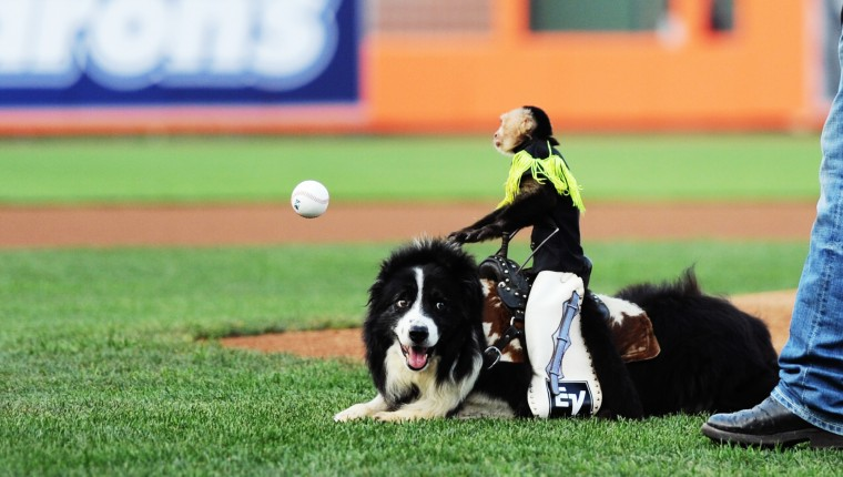 "Sam the monkey ""throws"" the first pitch of the Aberdeen Ironbirds game Thursday, July 10, 2014. (Jon Sham/BSMG)"