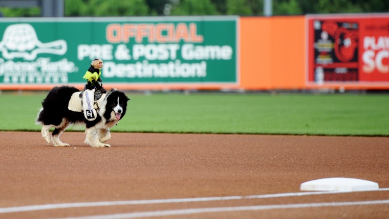 Sam the monkey rides Bob the dog on the baseline at Ripken Stadium before an Aberdeen Ironbirds game, Thursday, July 11, 2014. (Jon Sham/BSMG)