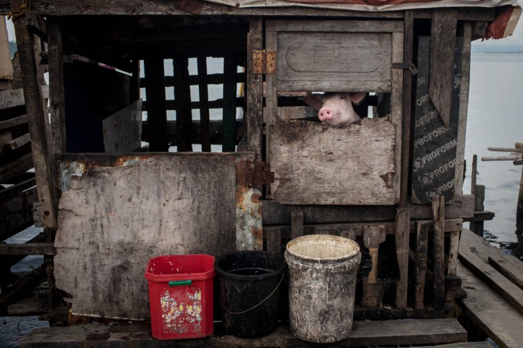 A pig is seen in an enclosure on the waters edge in the coastal area renamed by residents ' Yolanda Village' in Tacloban, Leyte, Philippines. Tacloban residents continue to focus on rebuilding their lives nine months after Typhoon Haiyan struck the coast on November 8, 2013, leaving more than 6000 dead and many more homeless. With many businesses and government operations back up and running and with the recent start of the years typhoon season, permanent housing continues to be the main focus with many families still living in temporary accommodation. As well as continuing recovery efforts Leyte is preparing for the arrival of Pope Francis, who will visit the region from January 15- 19. (Chris McGrath/Getty Images)