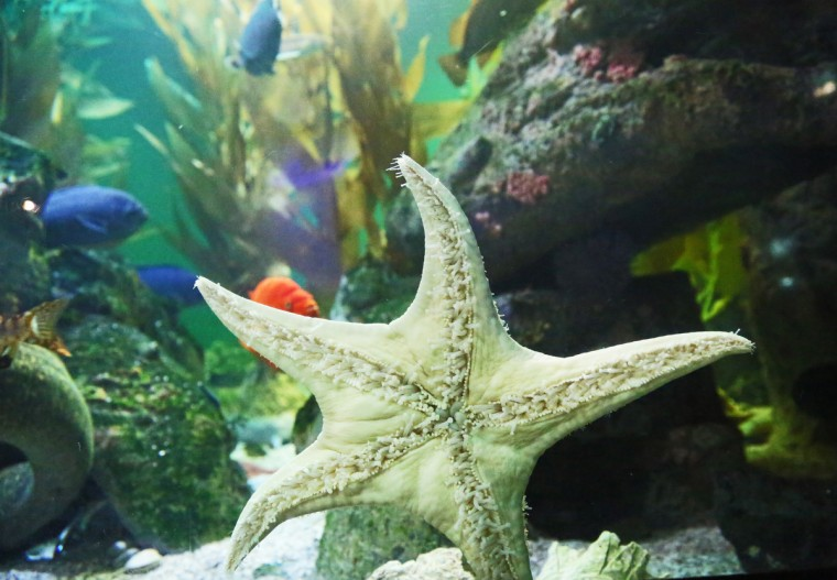 A Starfish says hello in the Black Tip Reef Exhibit at the National Aquarium. (Kaitlin Newman for Baltimore Sun)