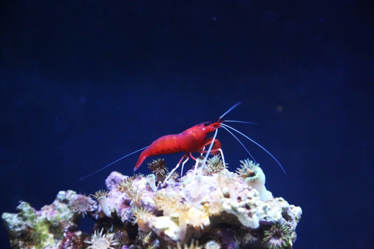 A Flame Shrimp, named for its bright red color, sits on a perch at the Black Tip Reef Exhibit at the National Aquarium. (Kaitlin Newman for Baltimore Sun)