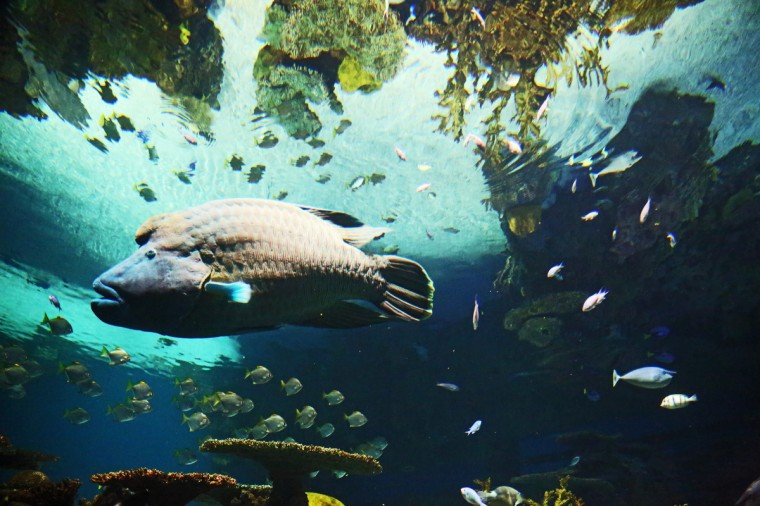 The Humphead Wrasse is one of the largest fish inhabiting the coral reef. (Kaitlin Newman for Baltimore Sun)