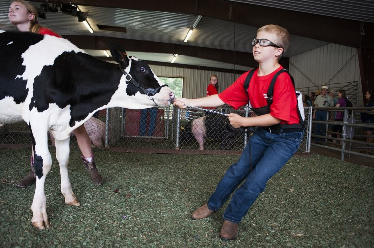 Nolan Wise, 8, attempts to lead a cow around the pen during the junior showmanship show at the Howard County Fair. (Noah Scialom/BSMG)