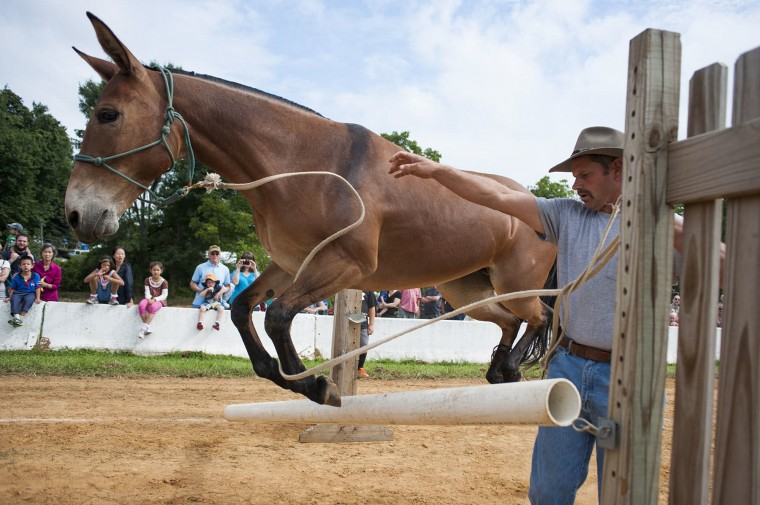 Jimmy Schulze and his mule, Jenny, make a failed attempt at jumping the barrier. (Noah Scialom/BSMG)