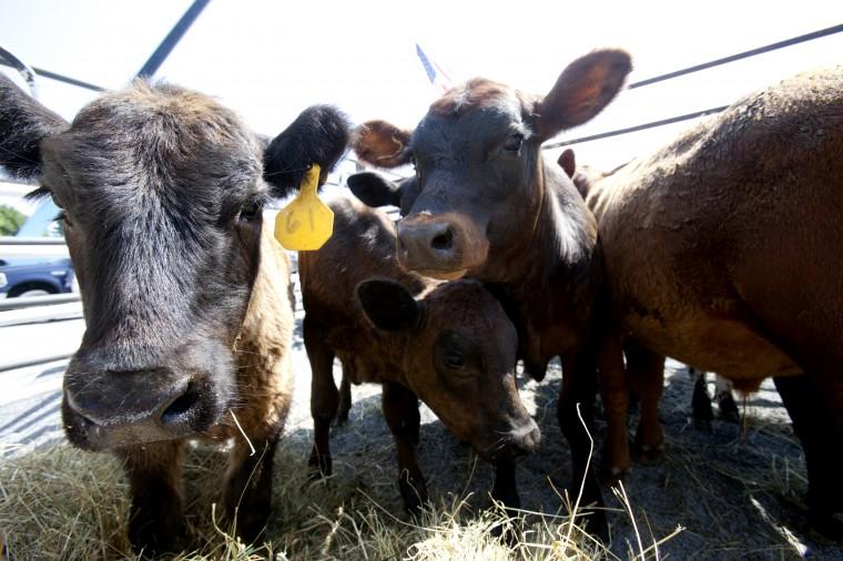 Calves at the Maryland High School Rodeo at the Howard County Fair. (Jen Rynda/BSMG)