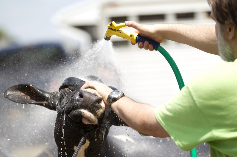 Dan Curry of Columbia washes a cow from Maple Dell Farm in Woodbine at the Howard County Fair. (Jen Rynda/BSMG)