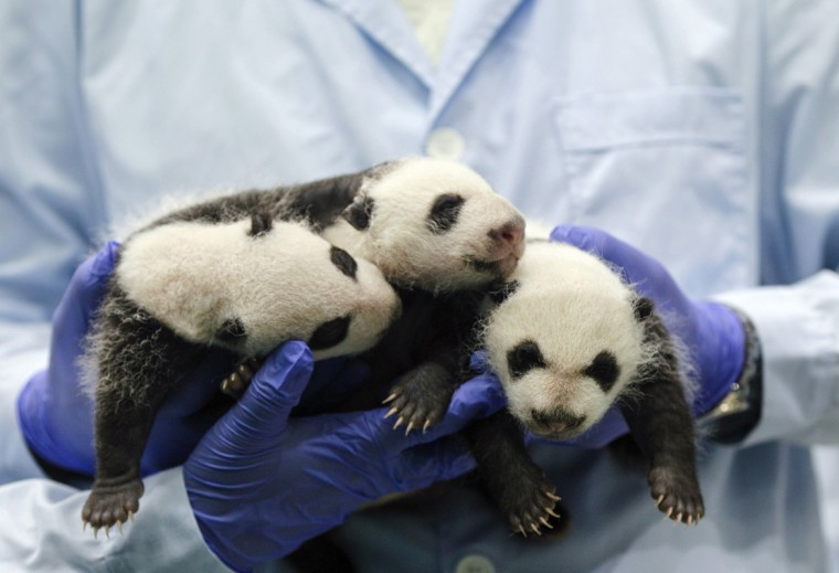 Giant panda triplets turn one-month-old at Chimelong Safari Park in Guangzhou, Guangdong province August 28, 2014. According to local media, they are the fourth set of giant panda triplets born with the help of artificial insemination procedures in China, and the birth is seen as a miracle due to the low reproduction rate of giant pandas. (Alex Lee/Reuters)