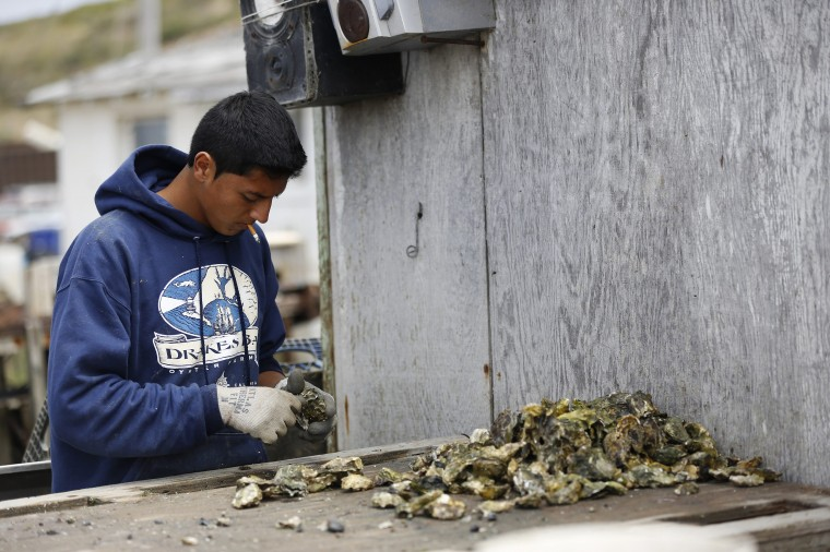 A worker separates oysters at Drakes Bay Oyster Company oyster shack in Inverness, California July 31, 2014. (Stephen Lam/Reuters)