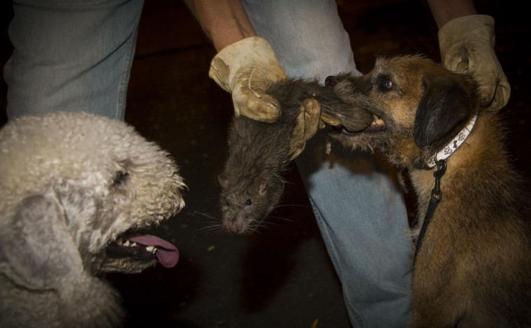 Tanner (R), a Border Terrier, kills a rat as Catcher (L), a Bedlington Terrier, looks on during an organized rat hunt on New York City's Lower East Side July 25, 2014. The Ryders Alley Trencher-fed Society (R.A.T.S.) is a group of enthusiasts who take their dogs out to hunt rats in New York City. Members of the independent group venture out on night-time excursions to allow their dogs to do what they do best: hunt and kill vermin. (Mike Segar/Reuters)