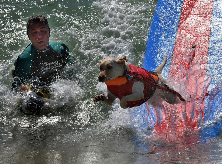 A Surfer Dog wipes out in its Large dog division heat during the 6th Annual Surf Dog competition at Huntington Beach, California on September 28, 2014. (Mark Ralston/Getty Images)