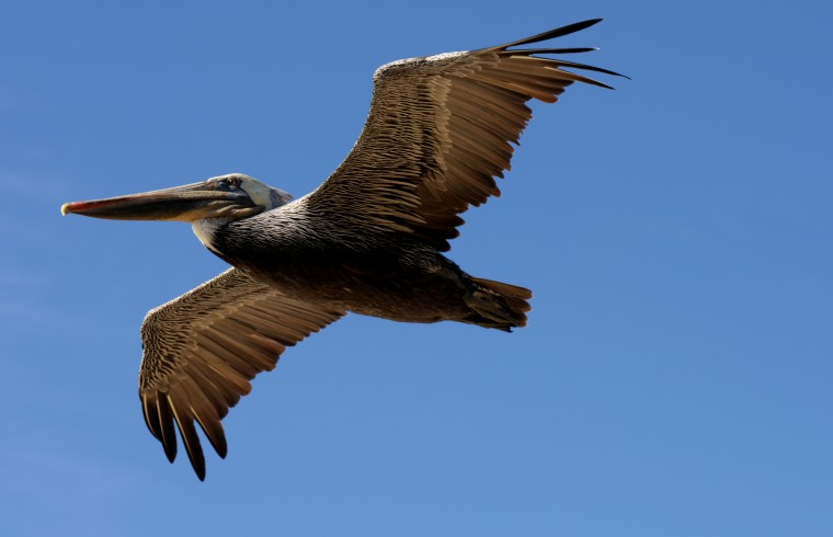 A pelican flies by over the beach at La Jolla.