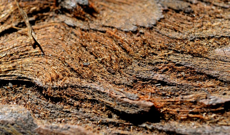 A close up detail of the redwood bark, which almost looks like hair.