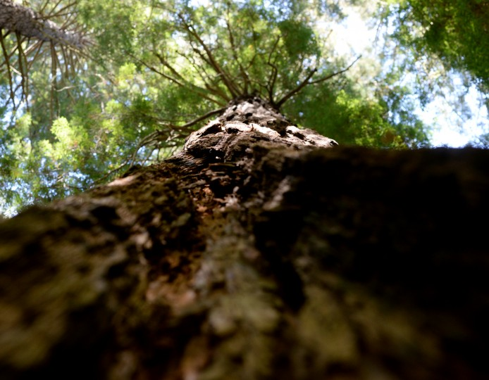Looking straight up at a redwood tree.