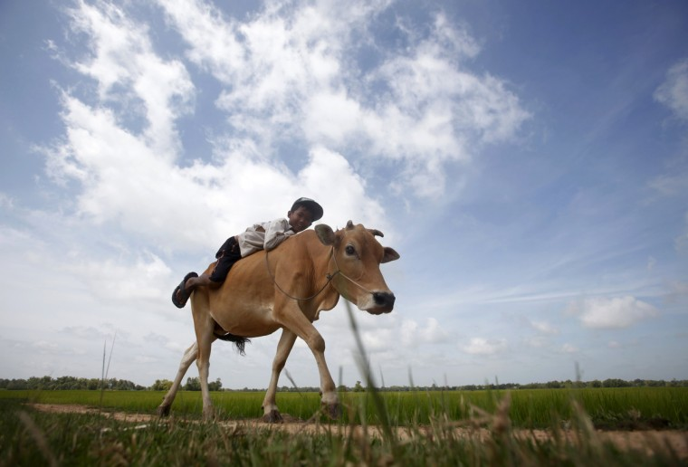 A boy rides his cow on a paddy field as he returns back home in Svay Rieng province. (Samrang Pring/Reuters)