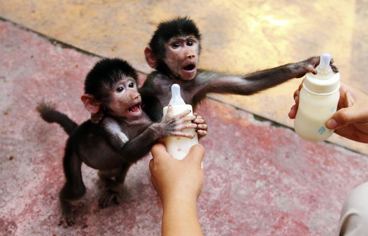 Baby Hamadryas baboons reach for milk bottles as a zookeeper feeds them at a zoo in Hangzhou, Zhejiang province September 17, 2014. Picture taken September 17, 2014. (China Daily/Reuters)