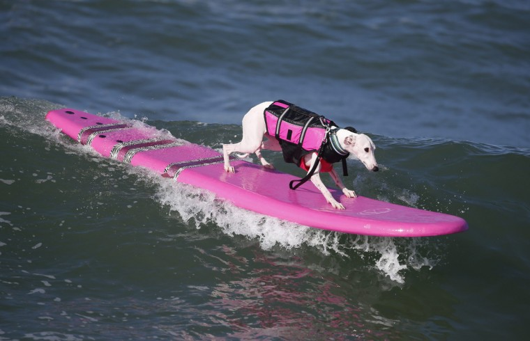 A dog surfs at the 6th Annual Surf City surf dog contest in Huntington Beach, California September 28, 2014. (Lucy Nicholson/Reuters)