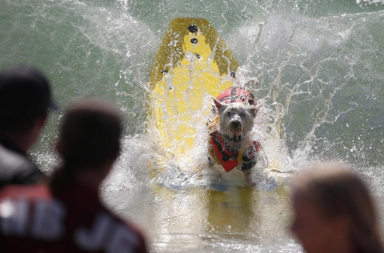 Surfer Dog Joey wipes out at the 6th Annual Surf City surf dog contest in Huntington Beach, California September 28, 2014. (Lucy Nicholson/Reuters)