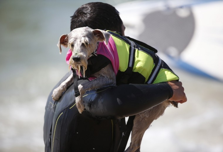 A dog is carried back into the water after riding a wave at the 6th Annual Surf City surf dog contest in Huntington Beach, California September 28, 2014. (Lucy Nicholson/Reuters)