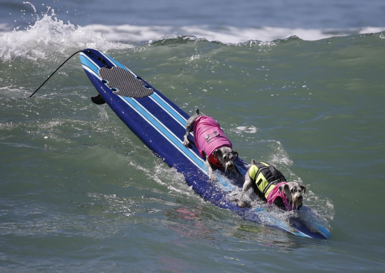 Dogs compete in the 6th Annual Surf City surf dog contest in Huntington Beach, California September 28, 2014. (Lucy Nicholson/Reuters)