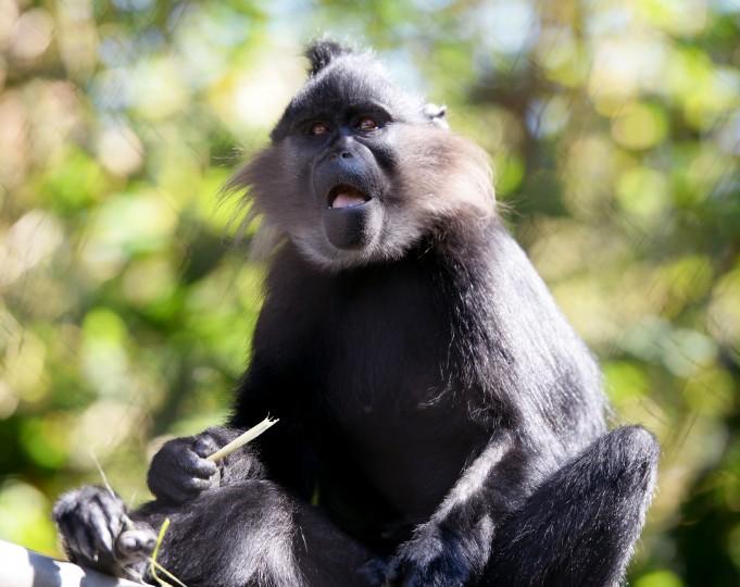 A monkey chews on a snack at the San Deigo Zoo.