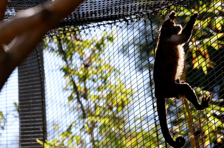 A capuchin monkey climbs in its large, netted habitat at the San Diego Zoo.