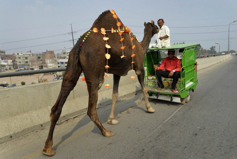 A camel is led behind a three-wheeler motorcycle after it was bought at a market to be taken and sacrificed for the Muslim festival of Eid al-Adha in the Pakistani city of Lahore on October 5, 2014. Muslims across the world are celebrating the annual festival of Eid al-Adha, or the Festival of Sacrifice, which marks the end of the Hajj pilgrimage to Mecca and commemorates Prophet Abraham's readiness to sacrifice his son to show obedience to God. (Arif Ali/Getty Images)