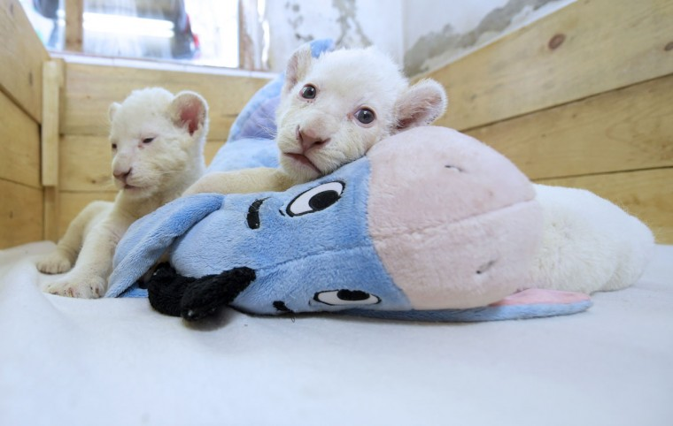 Two three-week-old white lion cubs play with a stuffed donkey toy at Belgrade Zoo on October 20, 2014. The two white lion cubs, an extremely rare subspecies of the African lion, were born at the Belgrade Zoo. They are being bottle fed by zoo keepers after they were rejected by their mother after birth. (ANDREJ ISAKOVIC/AFP/Getty Images)