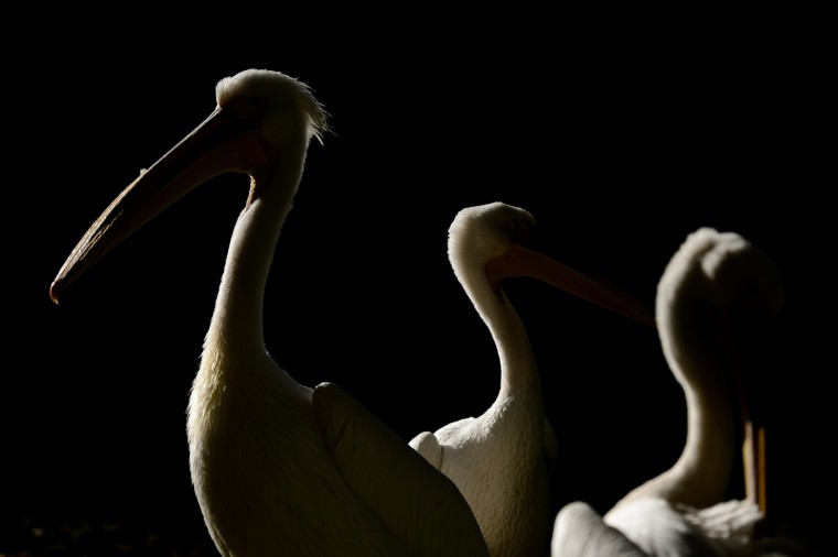 Great white pelicans enjoy the October sun in Saint James's Park, central London, on October 27, 2014. (Leon Neal/AFP/Getty Images)