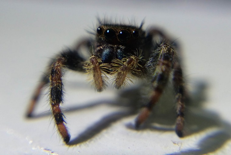 Jumping spider. (Jerry Jackson/Baltimore Sun)