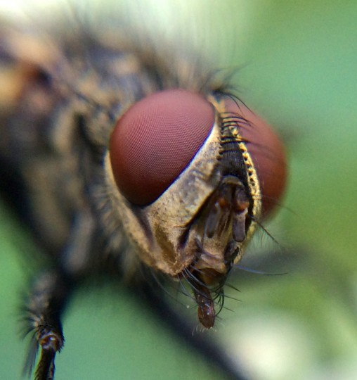 Tachinid fly. (Jerry Jackson/Baltimore Sun)