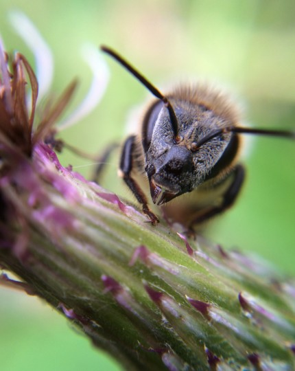 Honey bee on thistle. (Jerry Jackson/Baltimore Sun)