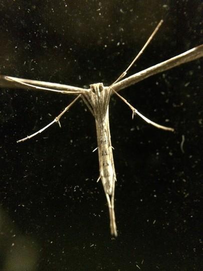 Plume moth. (Jerry Jackson/Baltimore Sun)