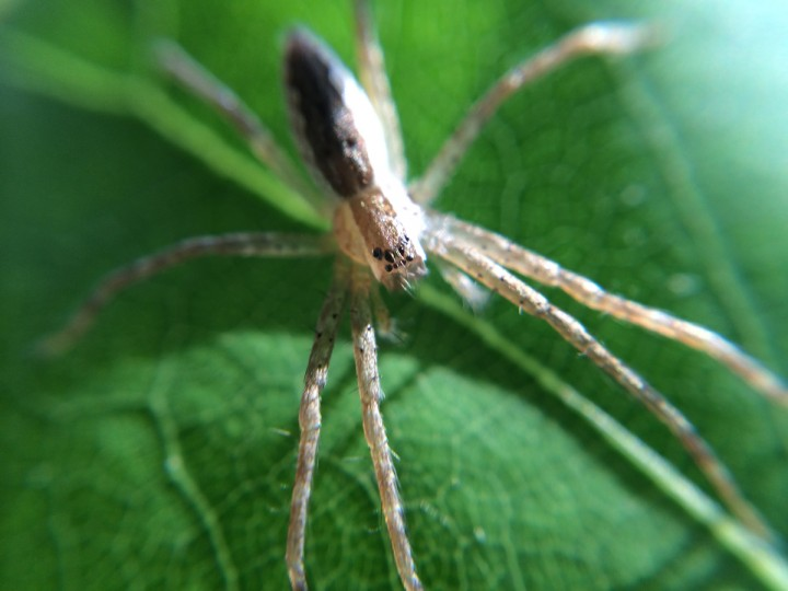 Nursery web spider. (Jerry Jackson/Baltimore Sun)