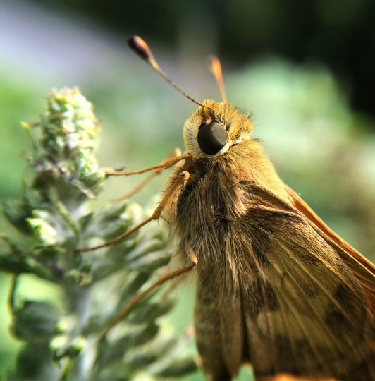 Skipper moth. (Jerry Jackson/Baltimore Sun)
