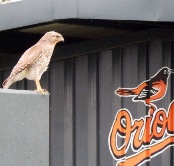 A hawk is perched atop one of the bullpen backdrops at the Orioles' spring training complex in Sarasota, Fla., on March 8, 2014.