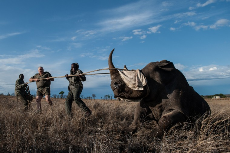 Dr Marius Kruger (C) and member of the Kruger National Park keeps the head of a rhino up during a white rhino relocation capture. The Kruger National Park relocated four rhinoceros from a high risk poaching area to a safer area as part of ongoing strategic rhinoceros management plan. (Stefan Heunis/Getty Images)