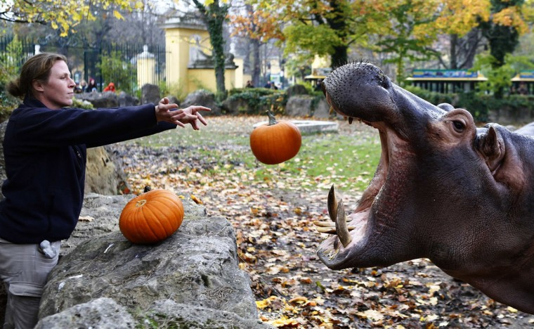 A hippopotamus catches a pumpkin during Halloween celebrations in the Tiergarten Schoenbrunn zoo in Vienna October 31, 2014. Once a year the animals in the zoo are fed with pumpkins to celebrate Halloween. (Leonhard Foeger/Reuters)