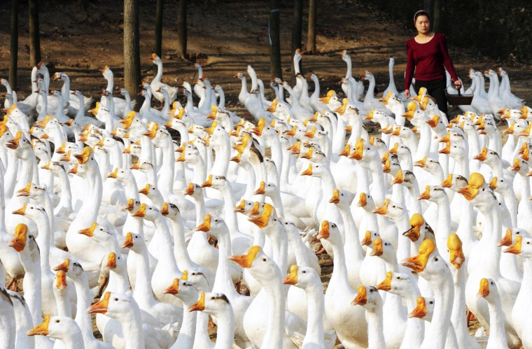 Zhang Yufeng feeds a flock of geese at Xincai county, Henan province, October 15, 2014. Zhang keeps around 3,200 geese for sale and expects an annual income of 100,000 yuan ($16,327) from them. Picture taken October 15, 2014. (China Daily/Reuters)